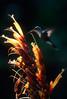 Hummingbird at dusk - Corcovado National Park, Costa Rica