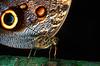 Owl butterfly (calygo eurilochius) - Corcovado National Park, Costa Rica