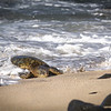 EXHAUSTED Sea Turtle