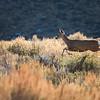 Deer2 in McGee Creek CA ©2016MelissaFaithKnight&FaithPhotographyNV_1156