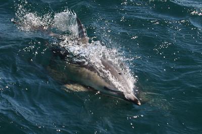 Common Short-beaked Dolphin-8706