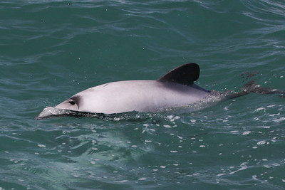 Hector's Dolphin-8203