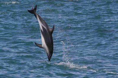 Dusky Dolphin-8043
