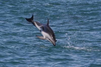 Dusky Dolphin-8044