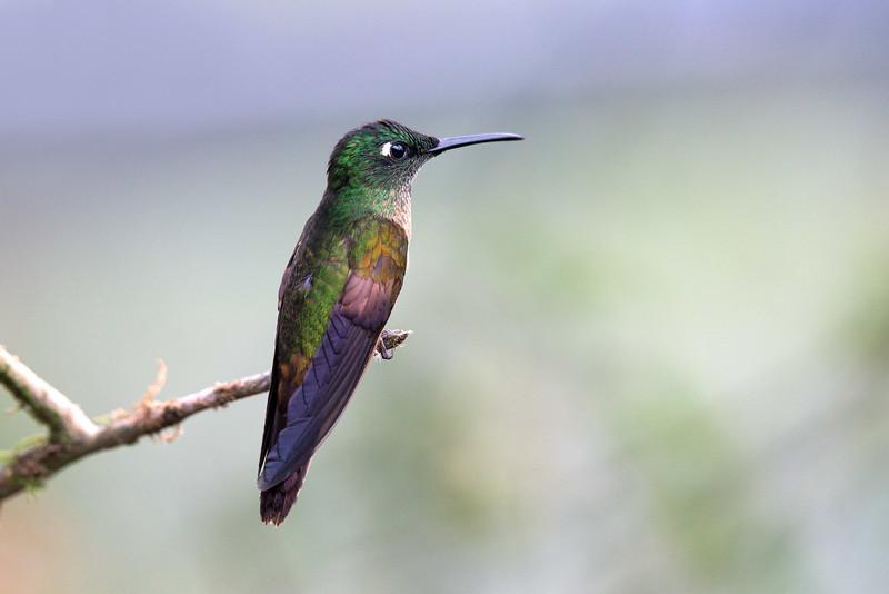 A Fawn-breasted Brilliant hummingbird (Heliodoxa rubinoides) perched on a branch at the Tandayapa Lodge, Ecuador
