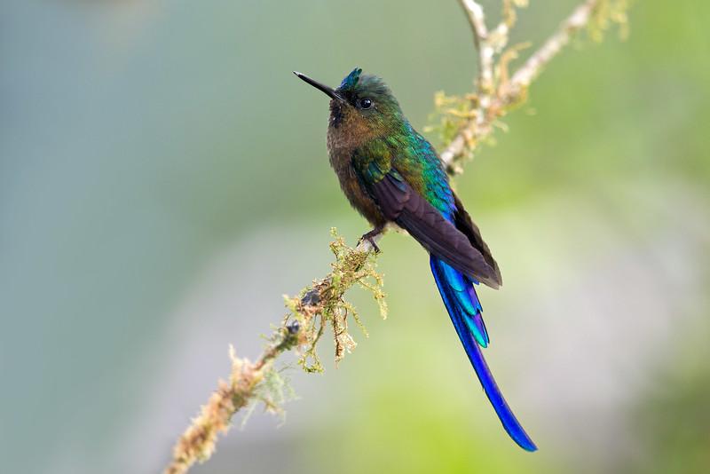 Violet-tailed Sylph hummingbird - Tandayapa Andean Cloud Forest Reserve, Ecuador