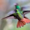 Rufous-tailed Hummingbird (Amazilia Tzatcl)