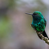 Green Thorntail hummingbird (Discosura conversii)