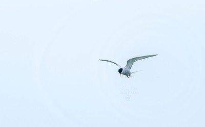 Arctic Tern  |  Sterna Paradisaea