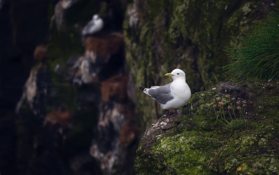 Lesser black-backed gull  |  Larus fuscus