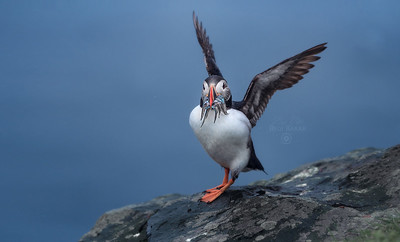 Atlantic Puffin  |  Fratercula Arctica
