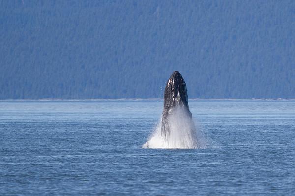 Humpback Whale-4143
