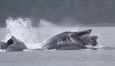Humpback Whale-1949