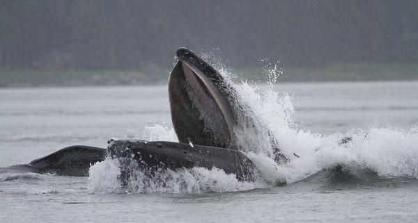 Humpback Whale-1903