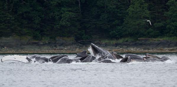 Humpback Whale-1832