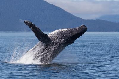 Humpback Whale-1694