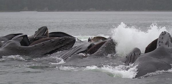 Humpback Whale-0564