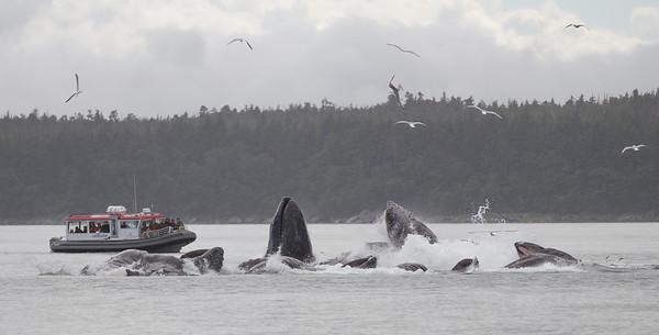 Humpback Whale-0597