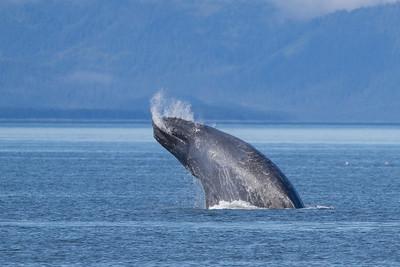 Humpback Whale-4169