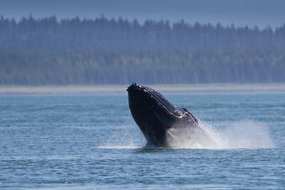 Humpback Whale-2720