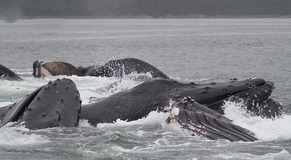 Humpback Whale-0569