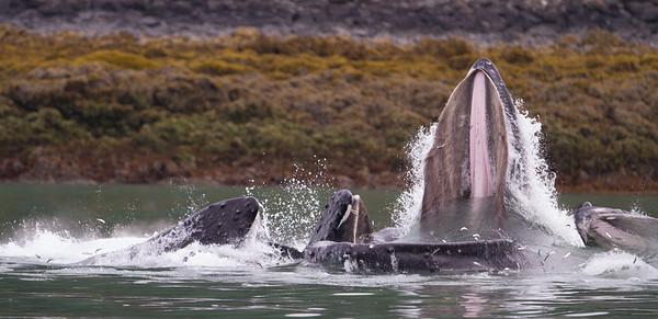Humpback Whale-2189