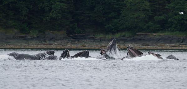 Humpback Whale-1826