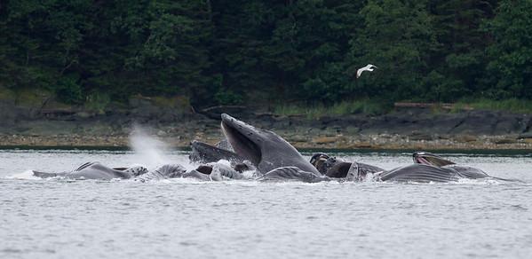 Humpback Whale-1837