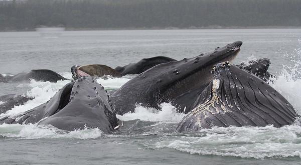Humpback Whale-0567