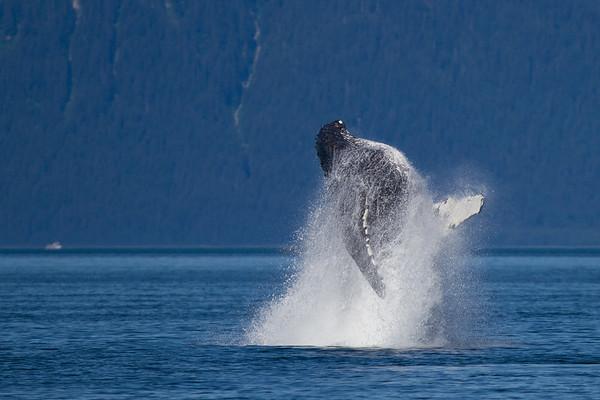 Humpback Whale-4230