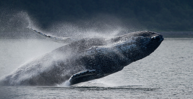 Humpback Whale-4211