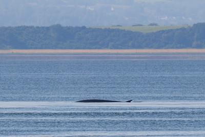 Fin Whale-0209
