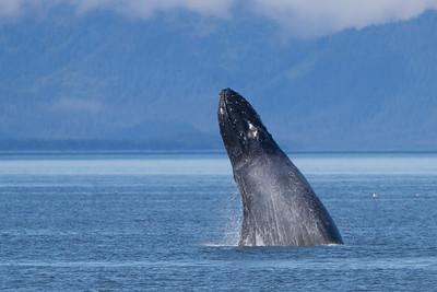 Humpback Whale-4166