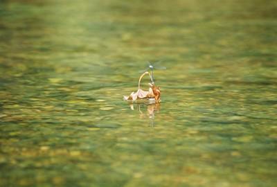 DAMSELFLY PAIR (Suborder Zygoptera) Elk River, Missouri