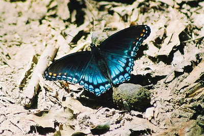 Red-Spotted Purple Swallowtail Basilarchia astyanax Lake Fayetteville, AR
