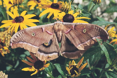 CECROPIA MOTH (Hyalophora cecropia) Elm Springs, Arkansas