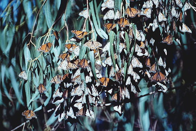 BUTTERFLIES ARE FREE (Danaus plexippus) Monarch Gathering Long Beach, California