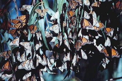 MONARCH BUTTERFLY MATING AGGREGATION (Danaus plexippus) Long Beach, California
