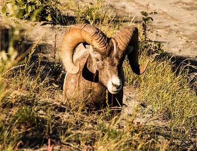 MALE BIGHORN SHEEP (RAM)-JASPER, CANADA