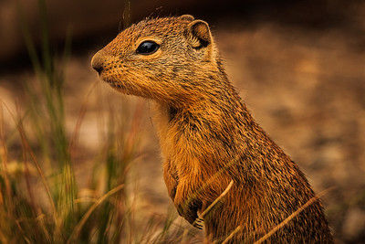 GROUND SQUIRREL (SAGE RAT)