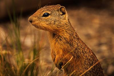 GROUND SQUIRREL (SAGE RAT)
