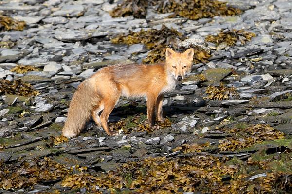 Red Fox-2106
