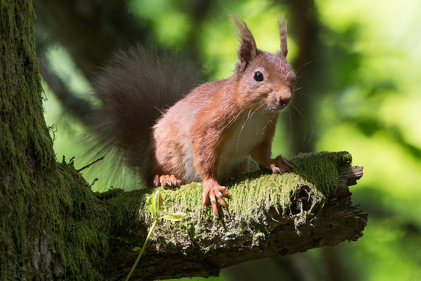Red Squirrel-4370