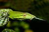 Oriental Whipsnake or Asian Vine Snake (Ahaetulla prasina)