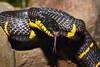 A black and yellow mangrove snake (Boiga dendrophila)