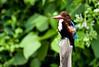 White-throated kingfisher - Langkawi