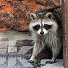 My 1st raccoon. I think he supprised me as much as I did him. But he called my Bluff . When he hissed at me <br /> I told him he wins and left .