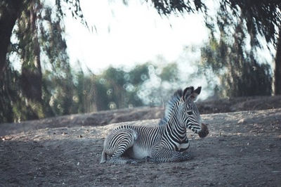 A TIME FOR REST Zebra Youngster