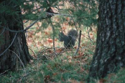 SECRET SQUIRREL California Gray Squirrel Cuyamacha, California