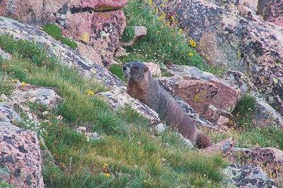 CONTINENTAL DIVIDE EARLY WARNING SYSTEM Hoary Marmot Barking the Alarm Genus: Marmota